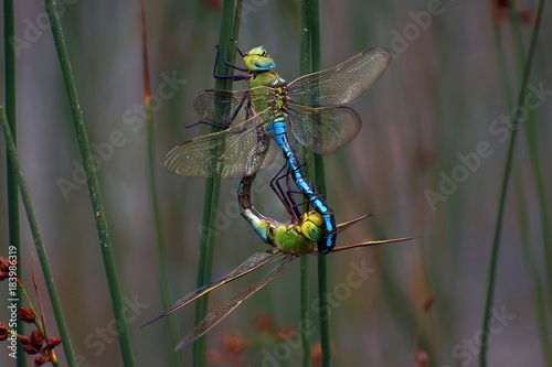 Emperor Dragonfly mating - Anax imperator