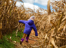 Child Running Into The Corn Maze