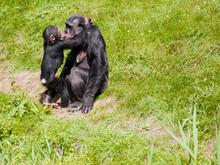 Mutterliebe Bei Schimpansen