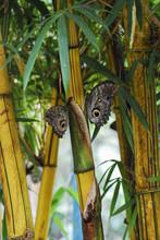 Owl Butterflies . Bamboo Branch.