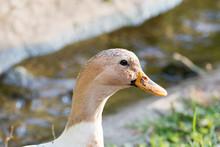 Bright White Domestic Goose