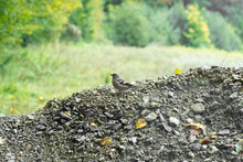 Female Chaffinch Bird Seits On...