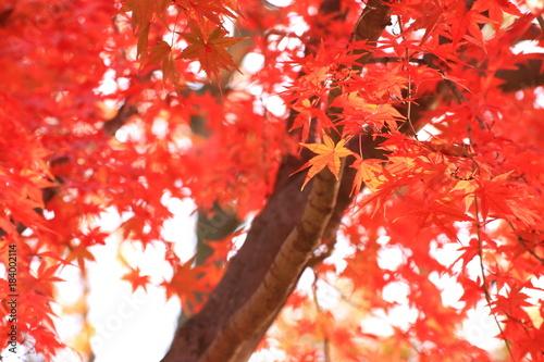 鮮やかなモミジの紅葉