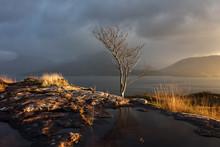A Lone Rowan Tree