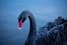 Close-up Black Swan