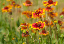 Summer Wild Field With Beautiful Feral Indian Blanket Flowers
