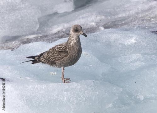 Common Gull (Larus canus), juvenile standing on ice, Iceland.