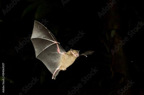 Photo Jamaican fruit bat (Artibeus jamaicensis) flying at night, Tortuguero, Costa Rica