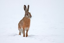 European Brown Hare Lepus Euro...