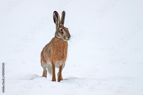 European brown hare lepus europaeus in winter Canvas-taulu