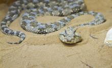 Saharan Horned Viper (Cerastes...