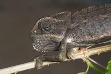Common Chameleon (Chamaeleo Ch...