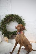 Vizsla Dog Christmas Photo