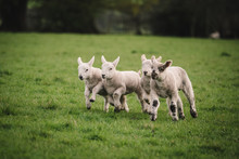 Four Lambs Playing And Running