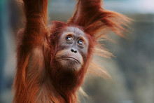 Orangutan. Portrait Of Young M...
