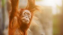 Orangutan. Portrait Of Young M...