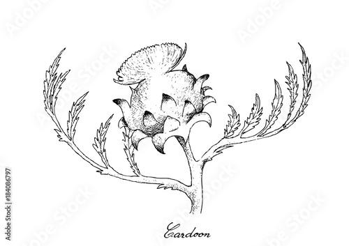 Fotografija Hand Drawn of Fresh Cardoon Flower on White Background