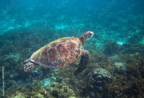 Papel de parede  Green sea turtle in seaweed underwater