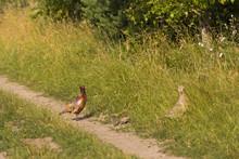 A Family Of Pheasants Feeding ...