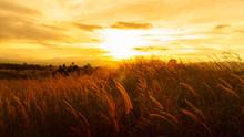 Foxtail Grasses At Sunset, Setaria Viridis, Selective Focus