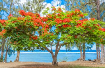 Panel Szklany Drzewa flamboyant sur plage de Saint-Leu, île de la Réunion