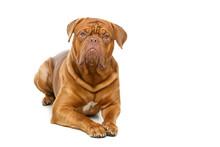 Beautiful Bordeaux Dogue Dog
