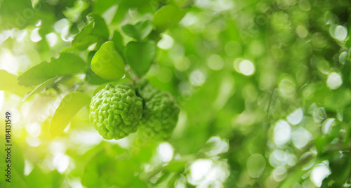 bunch of green bergamot on bergamot tree in garden against with the sunlight in Wallpaper Mural