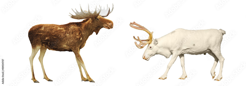 Moose and deer on a white background