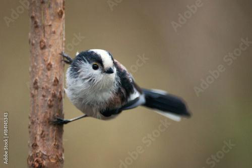 Long-tailed tit (Aegithalos caudatus) sitting on a branch Plakát