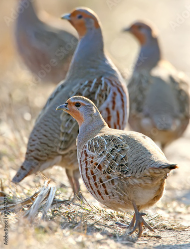 Carta da parati Leader of a pack of gray partridges in a pose of attention, look at the photographer