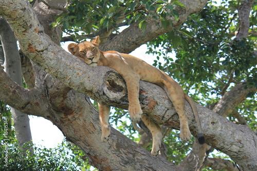 Photo Stands Panther Löwe auf einem Baum Uganda