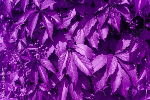 Obrazy wieloczęściowe abstrakcyjne tło z liści dzikich winogron malowane fioletem