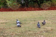 Four Pigeons Walking In The Gr...