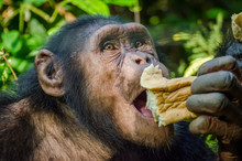 Portrait Of Chimp Eating Loaf ...