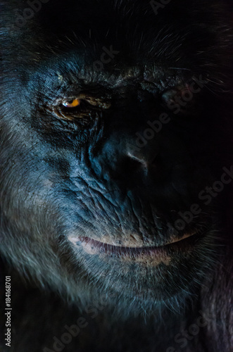Foto Dark closeup portrait of chimp or chimpanzee with wise look
