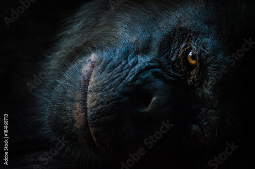 Fotografia, Obraz Dark closeup portrait of chimp or chimpanzee with wise look