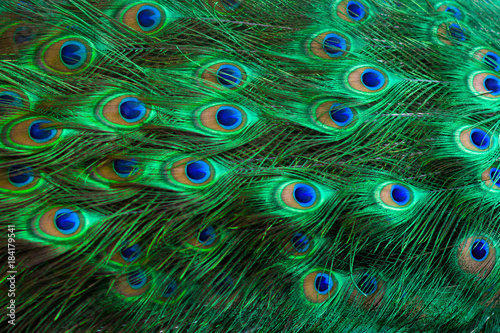 Tuinposter Pauw Peacock feathers Green Dot Pattern Blue Background