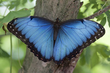 Big Blue Morpho Butterfly Menelaus