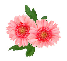 Two Pink Daisy Flowers Isolated Over White Background