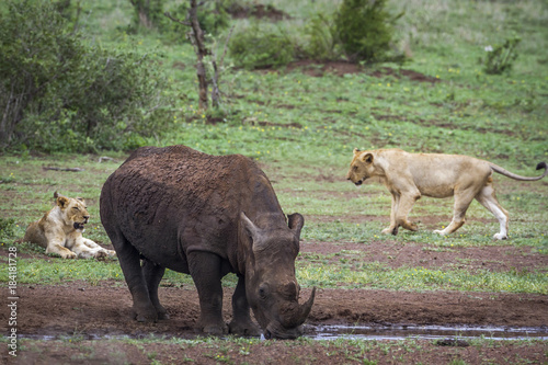 Southern white rhinoceros and African lion in Kruger National park, South Africa
