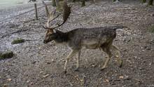 Male Deer Walking In Winter / ...