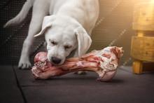 Junger Hungriger Labrador Retr...