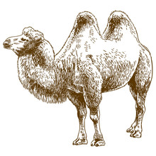 Engraving Drawing Illustration Of Camel