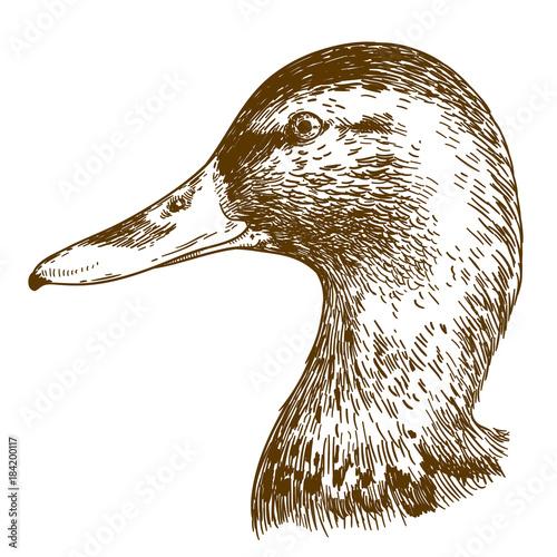 engraving illustration of mullard duck head Wall mural