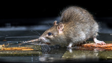 Close Up Of Wild Brown Rat In ...