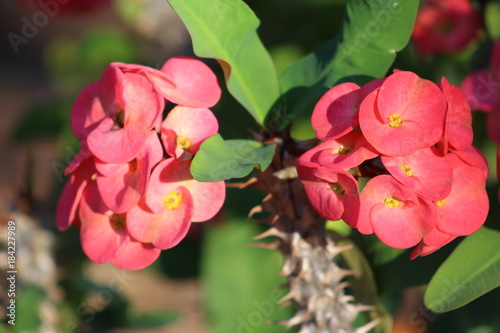 Pink flower blooms on a crown of thorns plant buy this stock photo pink flower blooms on a crown of thorns plant mightylinksfo