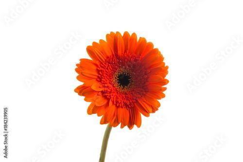 Red orange gerbera flower