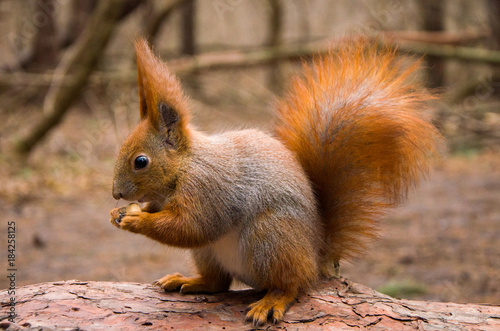 Tuinposter Eekhoorn Squirrel in the forest