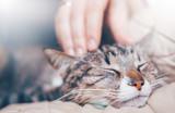Fototapeta Zwierzęta - hand stroking a cat