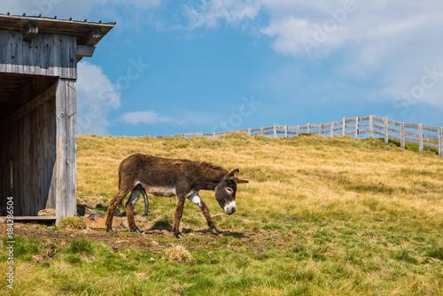Esel mit Errektion, esel mit steifen Genitalien steht auf der Almwiese, donkey with stiff genitals stands on the alpine meadow